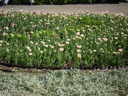 Я живу в городе Черновцы,Украина, в этом городе живу уже 7 лет, но весной заметила что у нас в городе очень много красивых тюльпанов. фото 3