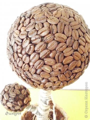 Кофейные деревья. фото 6