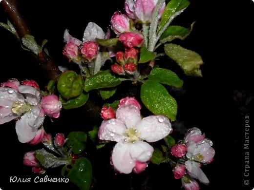 Привет!!!!!Поздравляю всех с весенними праздниками!Желаю всем счастья и добра!Радости и хорошего настроения!Я уже приглашала вас дорогие в наш сад ,когда светило солнышко и летали божьи коровки,а теперь предлагаю провести романтичный вечер у нас в саду!Добро пожаловать!Вы уже чувствуете головокружительные  ароматы весны?Это цветёт абрикос. фото 7