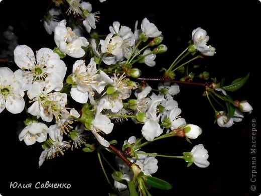 Привет!!!!!Поздравляю всех с весенними праздниками!Желаю всем счастья и добра!Радости и хорошего настроения!Я уже приглашала вас дорогие в наш сад ,когда светило солнышко и летали божьи коровки,а теперь предлагаю провести романтичный вечер у нас в саду!Добро пожаловать!Вы уже чувствуете головокружительные  ароматы весны?Это цветёт абрикос. фото 2