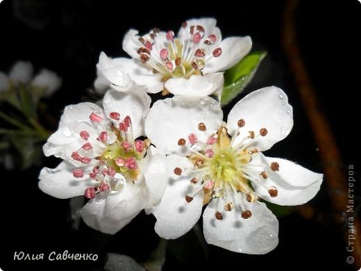 Привет!!!!!Поздравляю всех с весенними праздниками!Желаю всем счастья и добра!Радости и хорошего настроения!Я уже приглашала вас дорогие в наш сад ,когда светило солнышко и летали божьи коровки,а теперь предлагаю провести романтичный вечер у нас в саду!Добро пожаловать!Вы уже чувствуете головокружительные  ароматы весны?Это цветёт абрикос. фото 3