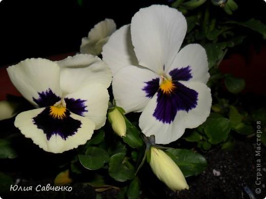 Привет!!!!!Поздравляю всех с весенними праздниками!Желаю всем счастья и добра!Радости и хорошего настроения!Я уже приглашала вас дорогие в наш сад ,когда светило солнышко и летали божьи коровки,а теперь предлагаю провести романтичный вечер у нас в саду!Добро пожаловать!Вы уже чувствуете головокружительные  ароматы весны?Это цветёт абрикос. фото 25