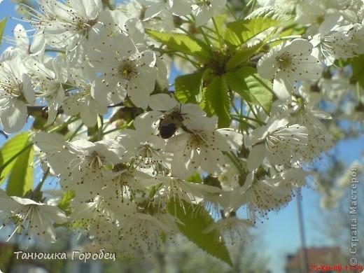 ...Как-то утром на рассвете.... ...Заглянув в весенний сад... фото 1