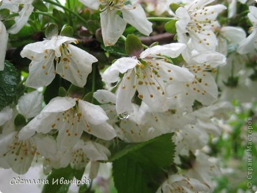 В нашем городе прошел майский дождь. Природа торжествует, умылась к празднику. фото 3