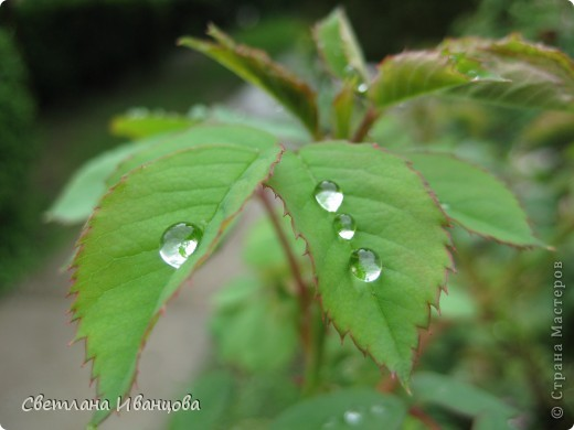 В нашем городе прошел майский дождь. Природа торжествует, умылась к празднику. фото 19