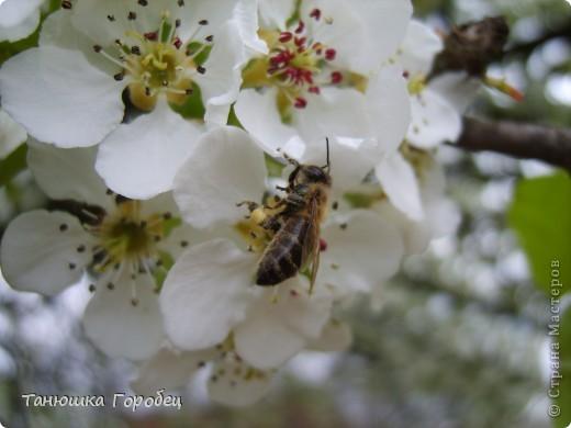 ...Как-то утром на рассвете.... ...Заглянув в весенний сад... фото 2