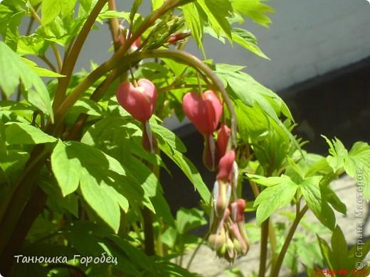 ...Как-то утром на рассвете.... ...Заглянув в весенний сад... фото 11