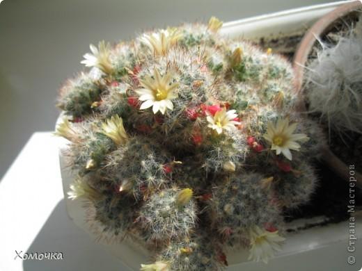 Цветущие кактусы - не такая уж редкость, но все же необычно. Этот кактус цветет у моего брата.  фото 5
