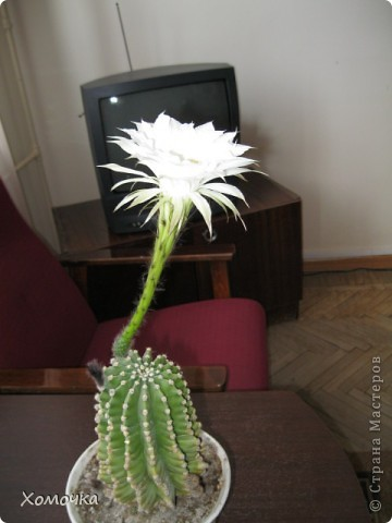 Цветущие кактусы - не такая уж редкость, но все же необычно. Этот кактус цветет у моего брата.  фото 3