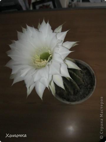 Цветущие кактусы - не такая уж редкость, но все же необычно. Этот кактус цветет у моего брата.  фото 4