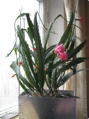 Цветущие кактусы - не такая уж редкость, но все же необычно. Этот кактус цветет у моего брата.  фото 2