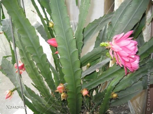 Цветущие кактусы - не такая уж редкость, но все же необычно. Этот кактус цветет у моего брата.  фото 1