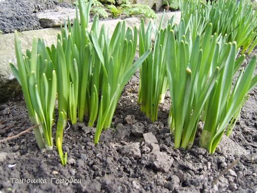 ...Как-то утром на рассвете.... ...Заглянув в весенний сад... фото 4