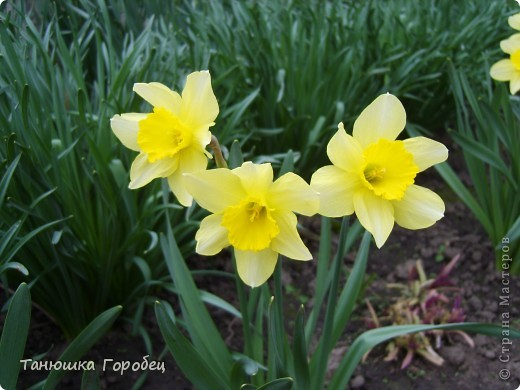 ...Как-то утром на рассвете.... ...Заглянув в весенний сад... фото 5