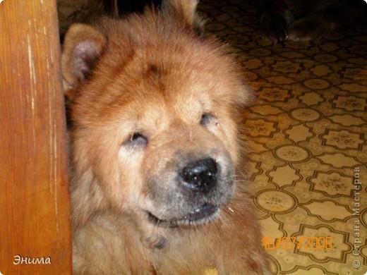 Как я уже писала, у нас 4 собаки породы чау-чау. Начну по старшинству. Это Лиза, наша первая чаушка, ей 12 лет. фото 1