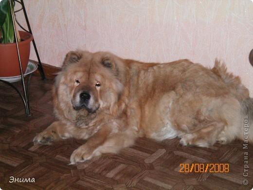 Как я уже писала, у нас 4 собаки породы чау-чау. Начну по старшинству. Это Лиза, наша первая чаушка, ей 12 лет. фото 4
