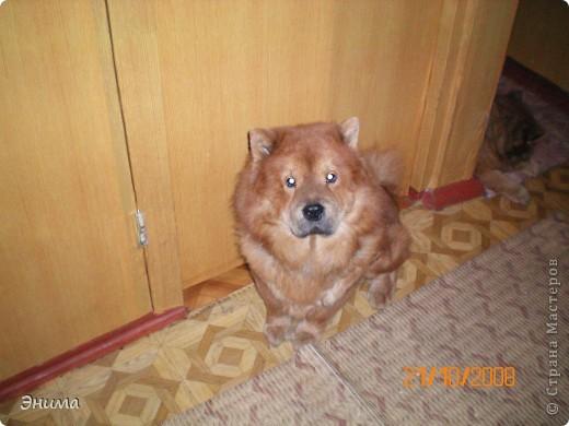 Как я уже писала, у нас 4 собаки породы чау-чау. Начну по старшинству. Это Лиза, наша первая чаушка, ей 12 лет. фото 2