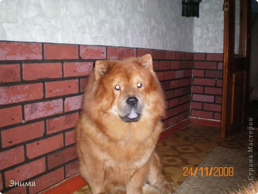 Как я уже писала, у нас 4 собаки породы чау-чау. Начну по старшинству. Это Лиза, наша первая чаушка, ей 12 лет. фото 3