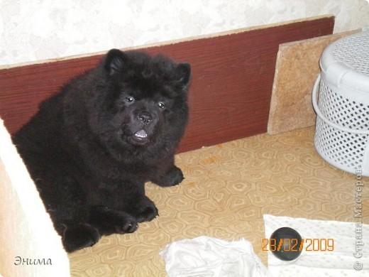 Как я уже писала, у нас 4 собаки породы чау-чау. Начну по старшинству. Это Лиза, наша первая чаушка, ей 12 лет. фото 6
