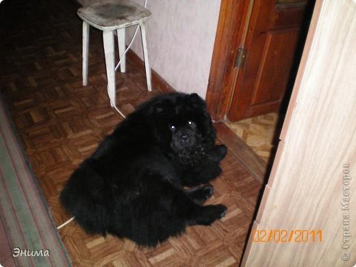 Как я уже писала, у нас 4 собаки породы чау-чау. Начну по старшинству. Это Лиза, наша первая чаушка, ей 12 лет. фото 5