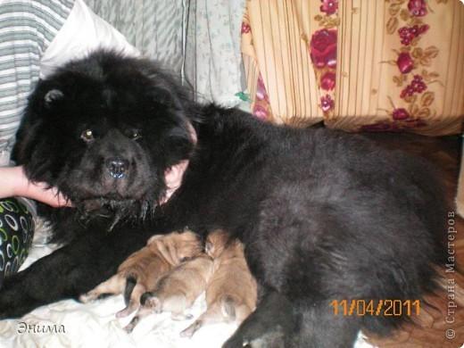 Как я уже писала, у нас 4 собаки породы чау-чау. Начну по старшинству. Это Лиза, наша первая чаушка, ей 12 лет. фото 8