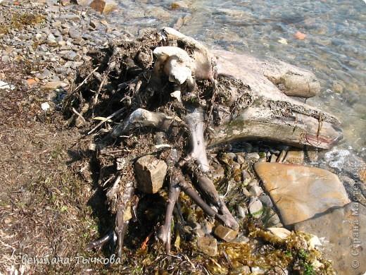 """Не коряга,а """"""""мечта флориста""""""""!Её практически не было видно из-под песка и водорослей,Провозившись с корягой минут сорок,я обнаружила вот эту красоту! фото 2"""