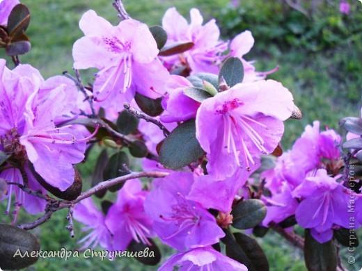 У нас на Урале весна только начинается и цветущих растений совсем немного. Но кое-что всё-таки глаз радует! фото 17