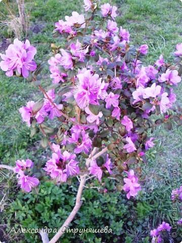 У нас на Урале весна только начинается и цветущих растений совсем немного. Но кое-что всё-таки глаз радует! фото 18