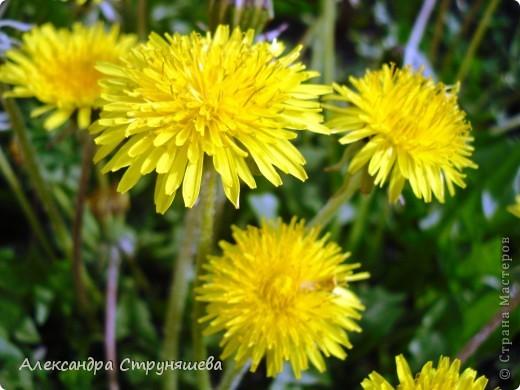 У нас на Урале весна только начинается и цветущих растений совсем немного. Но кое-что всё-таки глаз радует! фото 5