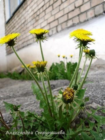У нас на Урале весна только начинается и цветущих растений совсем немного. Но кое-что всё-таки глаз радует! фото 13