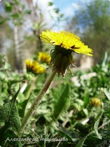 У нас на Урале весна только начинается и цветущих растений совсем немного. Но кое-что всё-таки глаз радует! фото 14