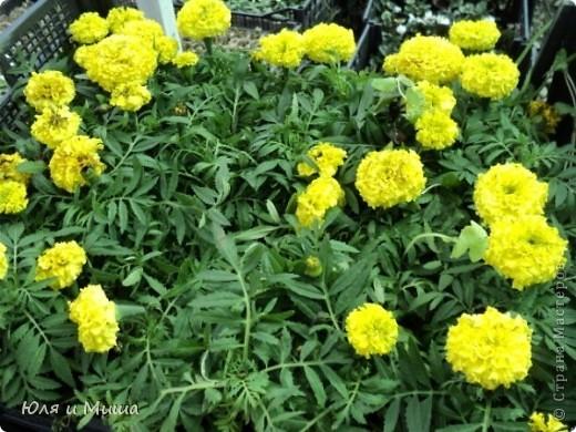 Гуляли, гуляли... И догулялись до цветочного рынка! Заранее предупреждаю вопросы о том где какой цветок, я в них не разбираюсь, просто любуюсь. Но, насколько я могла узнать у мамы, все цветы представленные на этих фото общеизвестны. так что просто приятного Вам просмотра!  фото 8