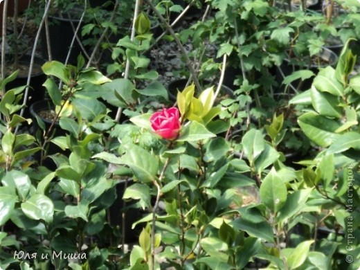 Гуляли, гуляли... И догулялись до цветочного рынка! Заранее предупреждаю вопросы о том где какой цветок, я в них не разбираюсь, просто любуюсь. Но, насколько я могла узнать у мамы, все цветы представленные на этих фото общеизвестны. так что просто приятного Вам просмотра!  фото 11