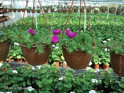 Гуляли, гуляли... И догулялись до цветочного рынка! Заранее предупреждаю вопросы о том где какой цветок, я в них не разбираюсь, просто любуюсь. Но, насколько я могла узнать у мамы, все цветы представленные на этих фото общеизвестны. так что просто приятного Вам просмотра!  фото 4