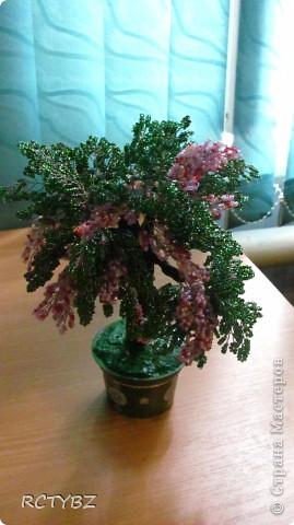 пуговичное дерево фото 5