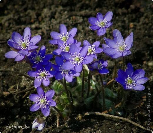 Дорогие жители Страны мастеров! Сегодня хочу вам подарить корзинку с моими любимыми первоцветами - печеночницей благородной. Продолжая изучать весенние цветочки, я наткнулась на фото с дивными сиренево-голубыми веселыми крошками. В природе я такие увидить не надеялась и вообще считала, что растут они южнее, и решила сделать их себе в квиллинге. И вот моя первая мечта осуществилась. фото 4