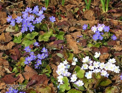 Дорогие жители Страны мастеров! Сегодня хочу вам подарить корзинку с моими любимыми первоцветами - печеночницей благородной. Продолжая изучать весенние цветочки, я наткнулась на фото с дивными сиренево-голубыми веселыми крошками. В природе я такие увидить не надеялась и вообще считала, что растут они южнее, и решила сделать их себе в квиллинге. И вот моя первая мечта осуществилась. фото 3