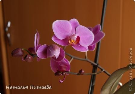 Порадовала меня нынче орхидея, которую купила себе в подарок два года назад. Отцвела и затихла. Сначала бурно реагировала на побеги, думала, что цветоносная стрелка, а оказывалось что воздушный корень. И когда появилась стрелка с бутонами, я была очень рада этому событию и стала пошагово фотографировать распускание цветов. Вот что у меня получилось. фото 9