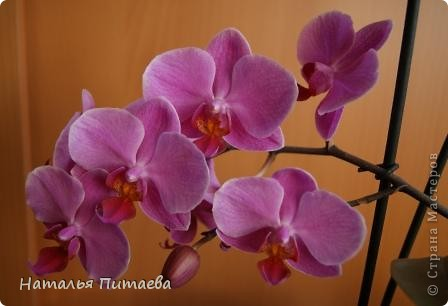 Порадовала меня нынче орхидея, которую купила себе в подарок два года назад. Отцвела и затихла. Сначала бурно реагировала на побеги, думала, что цветоносная стрелка, а оказывалось что воздушный корень. И когда появилась стрелка с бутонами, я была очень рада этому событию и стала пошагово фотографировать распускание цветов. Вот что у меня получилось. фото 1
