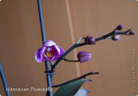 Порадовала меня нынче орхидея, которую купила себе в подарок два года назад. Отцвела и затихла. Сначала бурно реагировала на побеги, думала, что цветоносная стрелка, а оказывалось что воздушный корень. И когда появилась стрелка с бутонами, я была очень рада этому событию и стала пошагово фотографировать распускание цветов. Вот что у меня получилось. фото 5