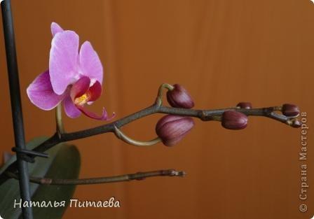 Порадовала меня нынче орхидея, которую купила себе в подарок два года назад. Отцвела и затихла. Сначала бурно реагировала на побеги, думала, что цветоносная стрелка, а оказывалось что воздушный корень. И когда появилась стрелка с бутонами, я была очень рада этому событию и стала пошагово фотографировать распускание цветов. Вот что у меня получилось. фото 6
