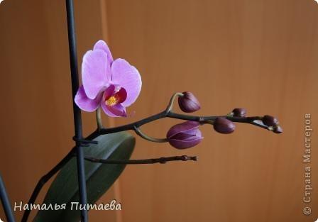 Порадовала меня нынче орхидея, которую купила себе в подарок два года назад. Отцвела и затихла. Сначала бурно реагировала на побеги, думала, что цветоносная стрелка, а оказывалось что воздушный корень. И когда появилась стрелка с бутонами, я была очень рада этому событию и стала пошагово фотографировать распускание цветов. Вот что у меня получилось. фото 7