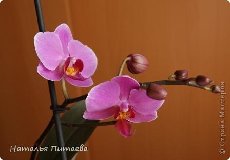 Порадовала меня нынче орхидея, которую купила себе в подарок два года назад. Отцвела и затихла. Сначала бурно реагировала на побеги, думала, что цветоносная стрелка, а оказывалось что воздушный корень. И когда появилась стрелка с бутонами, я была очень рада этому событию и стала пошагово фотографировать распускание цветов. Вот что у меня получилось. фото 8