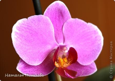 Порадовала меня нынче орхидея, которую купила себе в подарок два года назад. Отцвела и затихла. Сначала бурно реагировала на побеги, думала, что цветоносная стрелка, а оказывалось что воздушный корень. И когда появилась стрелка с бутонами, я была очень рада этому событию и стала пошагово фотографировать распускание цветов. Вот что у меня получилось. фото 12