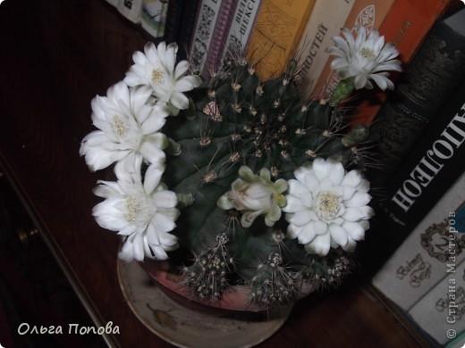 """Хочу поделиться чудом. К 9 мая мой кактус зацвёл вот таким """"салютом"""". Обычно цветёт одним-двумя цветочками, и чуть больше суток. А тут почти неделю цветы держались. фото 1"""