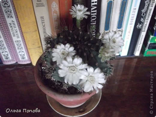 """Хочу поделиться чудом. К 9 мая мой кактус зацвёл вот таким """"салютом"""". Обычно цветёт одним-двумя цветочками, и чуть больше суток. А тут почти неделю цветы держались. фото 2"""