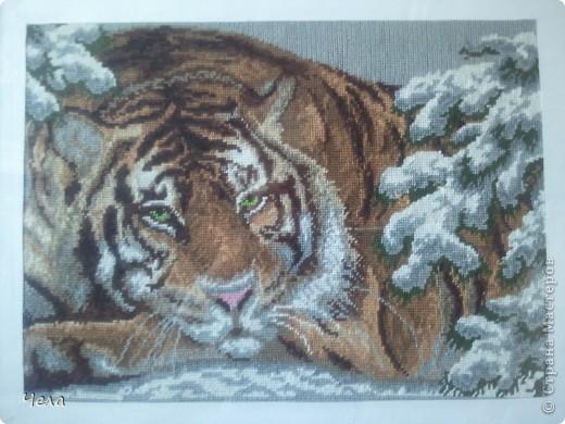 Амурский тигр в рамке... фото 2