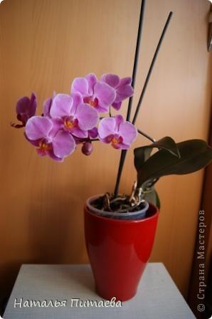 Порадовала меня нынче орхидея, которую купила себе в подарок два года назад. Отцвела и затихла. Сначала бурно реагировала на побеги, думала, что цветоносная стрелка, а оказывалось что воздушный корень. И когда появилась стрелка с бутонами, я была очень рада этому событию и стала пошагово фотографировать распускание цветов. Вот что у меня получилось. фото 11