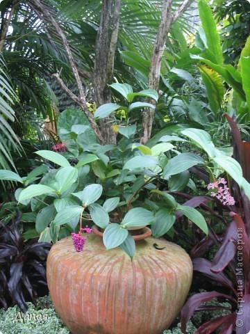 История парка, занесенного в книгу рекордов Гиннеса, и на экскурсию в который я вас приглашаю, началась в 1954 году, когда одна обеспеченная тайская семья купила участок земли в межгорной долине провинции Чанбури площадью 520 га. Сначала здесь разбили плодовый сад, выращивали манго, апельсины, кокосы и многое другое. Хозяйку сада звали Нонг Нуч. Спустя 16 лет она путешествовала по Европе и, вернувшись в родные края, решила превратить свой фруктовый сад в шикарный тропический парк. Трудом множества садовников участок был превращен в вечноцветущий сад, который в 1980 году открылся для широкого посещения.  фото 10