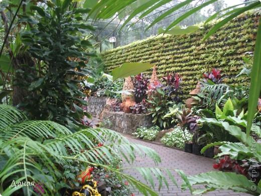История парка, занесенного в книгу рекордов Гиннеса, и на экскурсию в который я вас приглашаю, началась в 1954 году, когда одна обеспеченная тайская семья купила участок земли в межгорной долине провинции Чанбури площадью 520 га. Сначала здесь разбили плодовый сад, выращивали манго, апельсины, кокосы и многое другое. Хозяйку сада звали Нонг Нуч. Спустя 16 лет она путешествовала по Европе и, вернувшись в родные края, решила превратить свой фруктовый сад в шикарный тропический парк. Трудом множества садовников участок был превращен в вечноцветущий сад, который в 1980 году открылся для широкого посещения.  фото 11